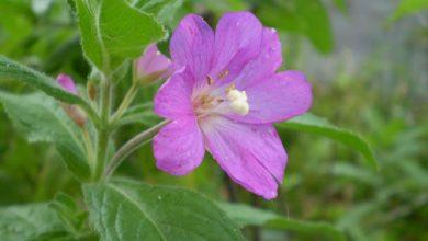 Photo of Wierzbownica Drobnokwiatkowa (Epilobium parviflorum Scherb)
