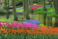 Photo of Tulipany.