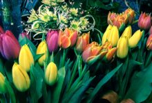 Photo of Co mówią Tulipany?