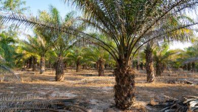 Photo of Co to jest olej palmowy?