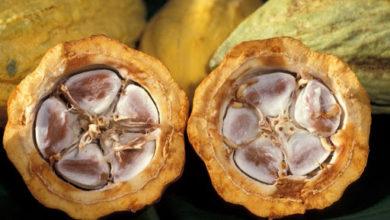 Photo of Kakaowiec właściwy