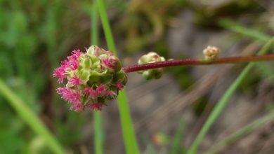 Photo of Jajecznica z kwiatami krwiściągu mniejszego.