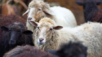zwierzęta owce