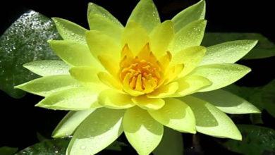 sennik żółta lilia wodna
