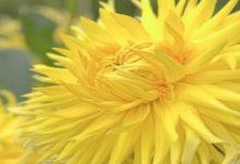 sennik żółty kwiat dalia